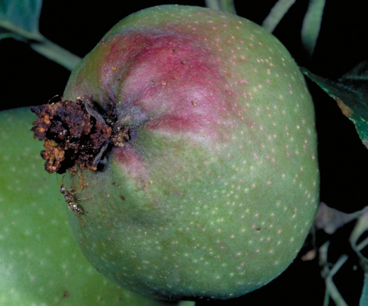 Codling moth damage to fruit (Bessin, UKY)