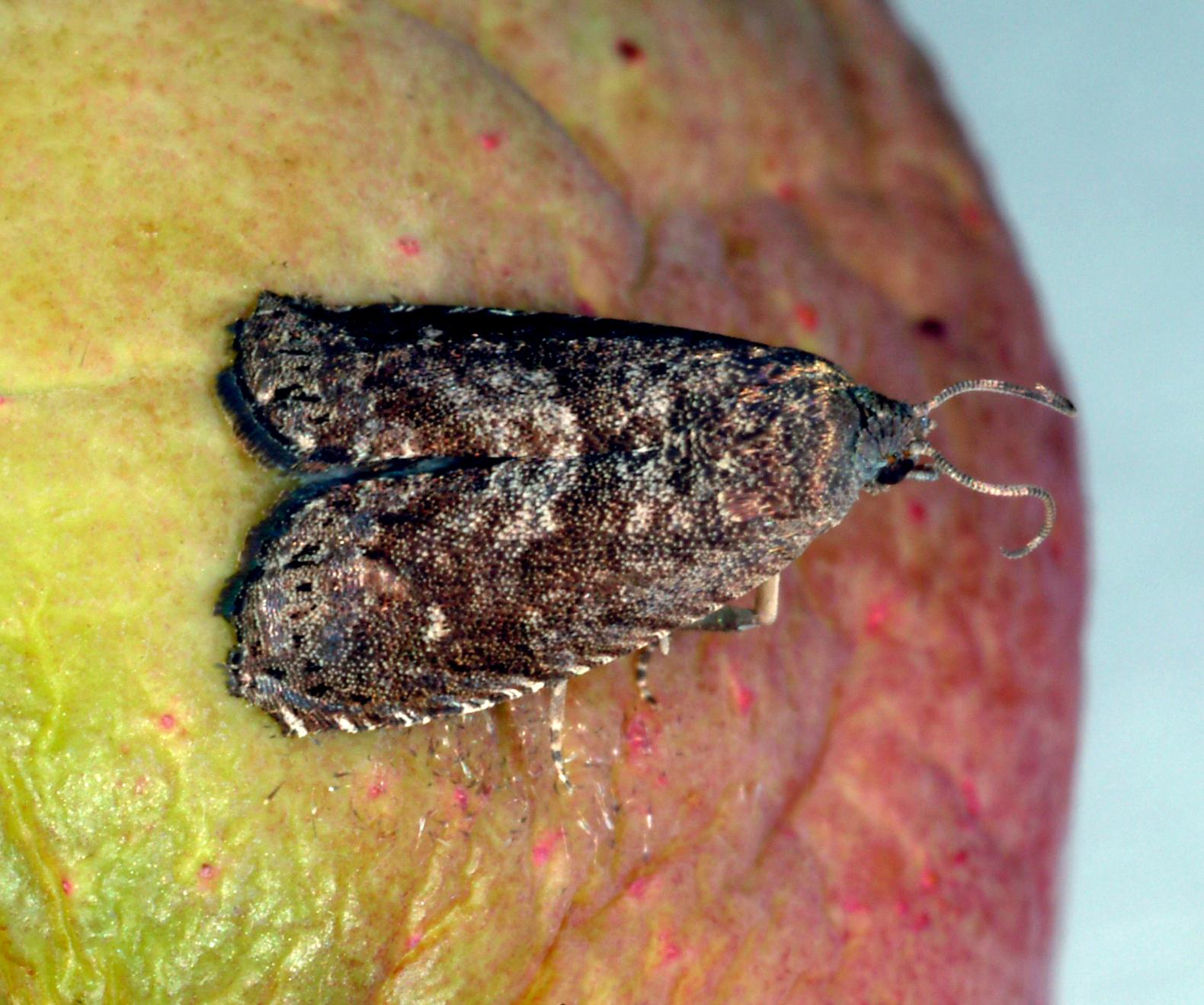 Adult Oriental fruit moth (Bessin, UKY)
