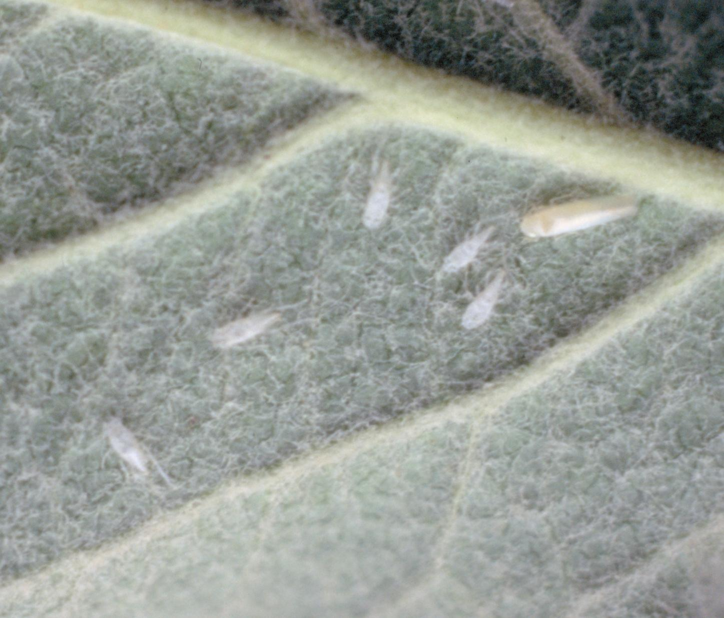 White apple leafhopper juveniles and adult (Bessin, UKY)