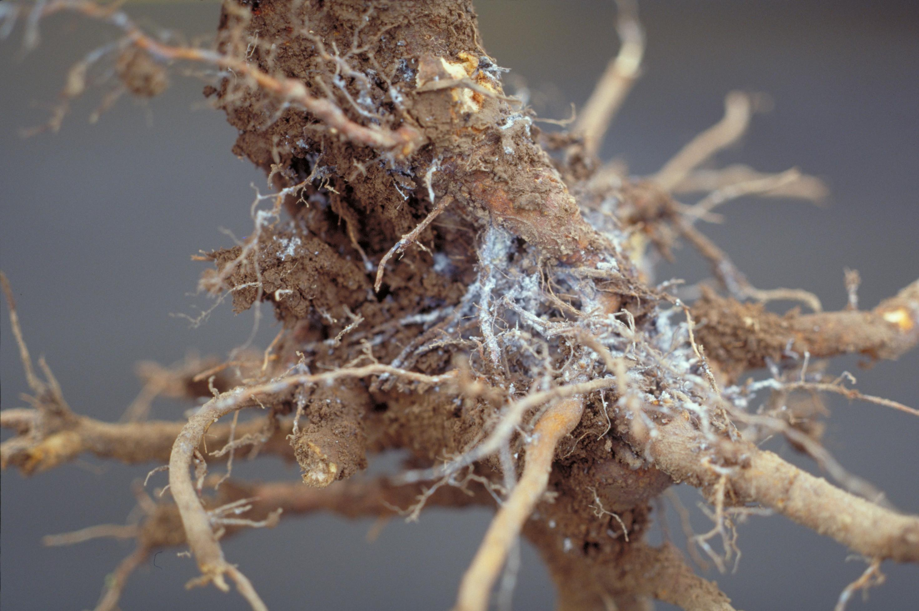 Woolly apple aphid on roots (Bessin, UKY)
