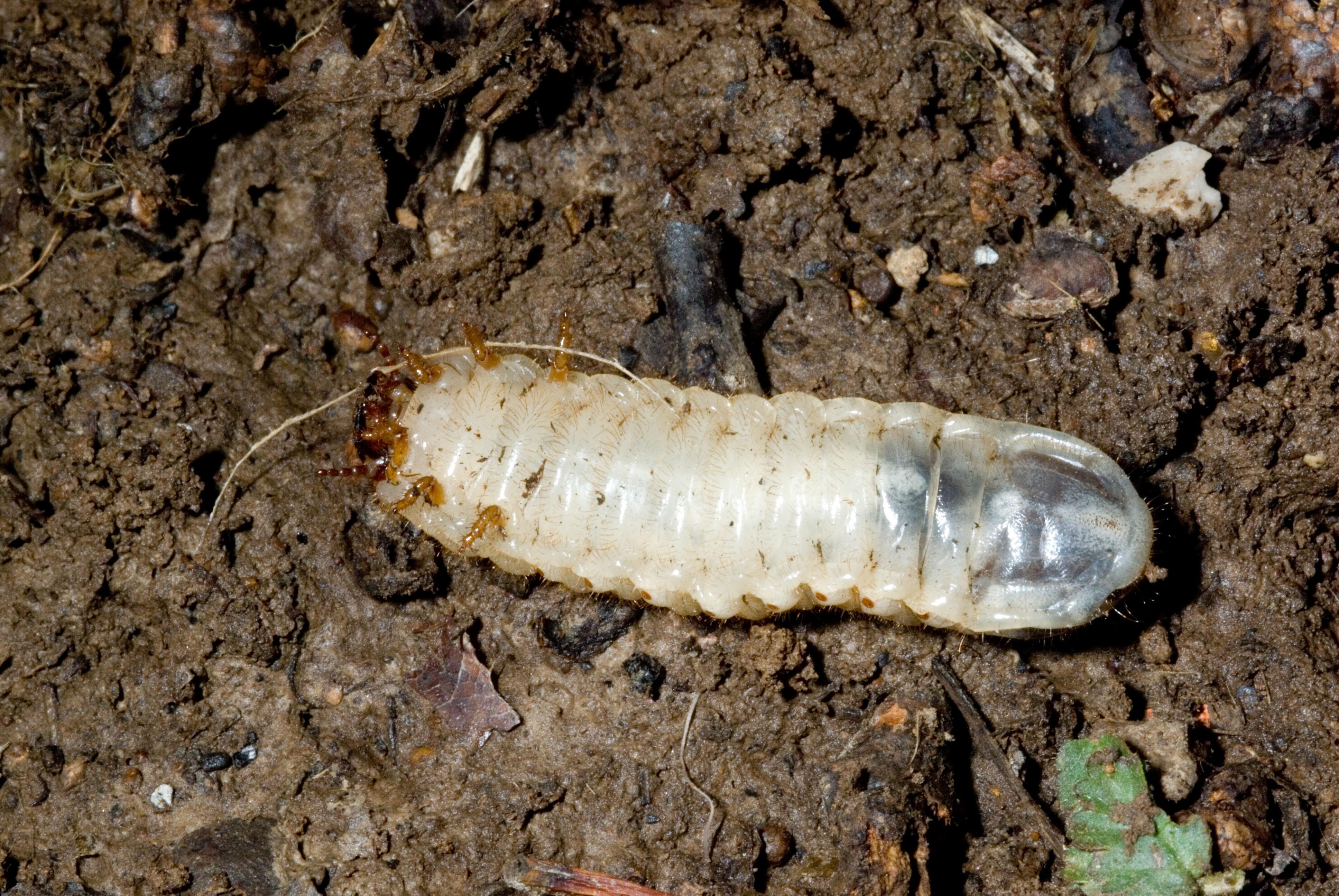 Green June Beetles larva